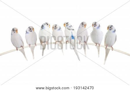 Budgie isolated on a white background, studio shot