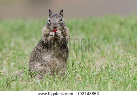 A little ground squirrel in the Sierra Nevada Mountains eating a red berry