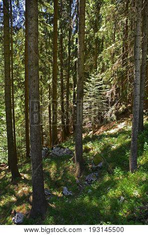 A shady alpine pine forest near Paularo in Friuli Venezia Giulia north east Italy