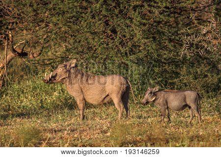 Common warthog (Phacochoerus africanus) standing in the morning sun