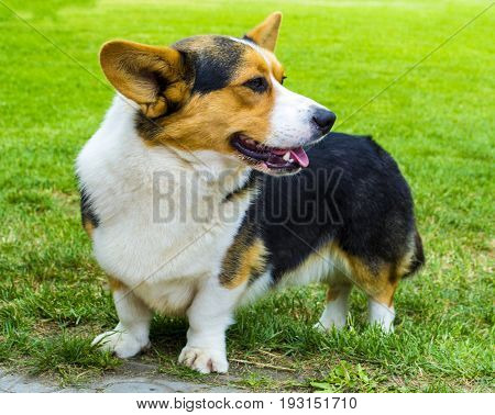 Pembroke Welsh Corg. Dog Welsh Corgi posing outdoors.