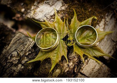 Wedding rings on young maple leaves. Leaves on the bark of a tree