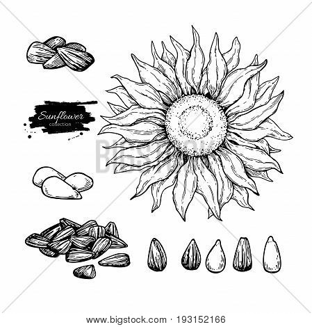 Sunflower seed and flower vector drawing set. Hand drawn isolated illustration. Food ingredient sketch.  Great for oil packaging design, label, banner, poster