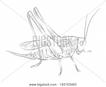 The Sketch of a big winged locust.