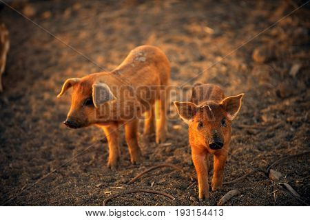 Two young pigs are walking around the farm yard on a summer day
