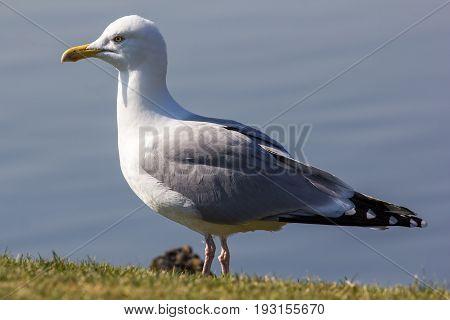 Herring gull (Larus argentatus) standing in close up profile. Full body seagull
