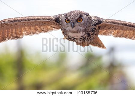 European eagle owl (Bubo bubo) bird of prey in flight Stealthy predator flying. Wildlife hunting image with copy space.