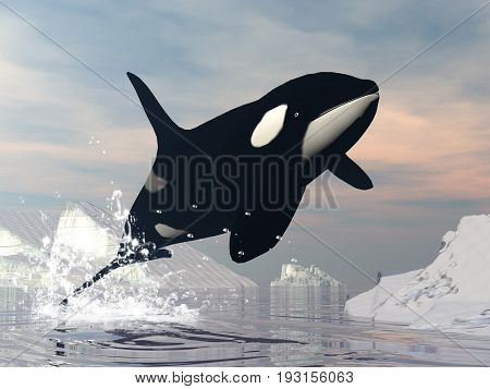 Killer whale jumping upon ocean among icebergs by sunset
