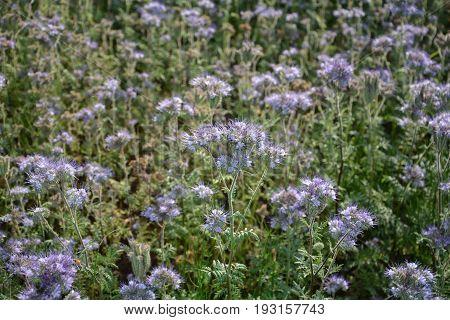 Phacelia blossoms  (   scorpionweed,  heliotrope , Boraginaceae  )    on the field