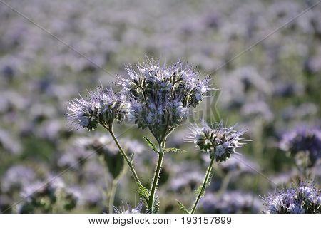 Phacelia blossoms  (   scorpionweed,  heliotrope , Boraginaceae, Kerneudikotyledonen  )  in detail