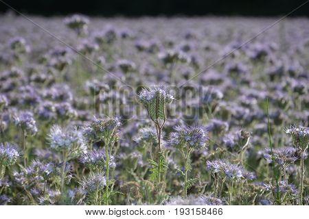 Purple Phacelia blossoms  (   scorpionweed,  heliotrope , Boraginaceae, Kerneudikotyledonen  )    on the field