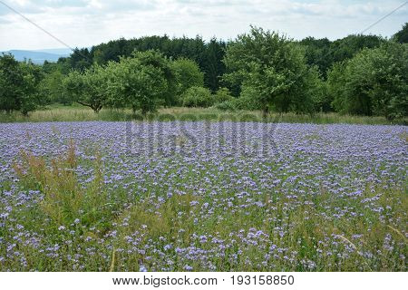 Phacelia blossoms  (   scorpionweed,  heliotrope , Boraginaceae, Kerneudikotyledonen  )  with wood in the background and with sky