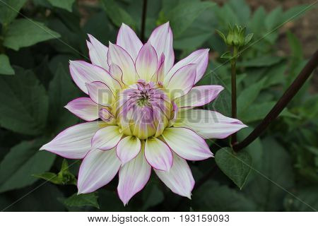 Dahlia blooming White dahlia in the garden White and purple White and purple on a dark green background