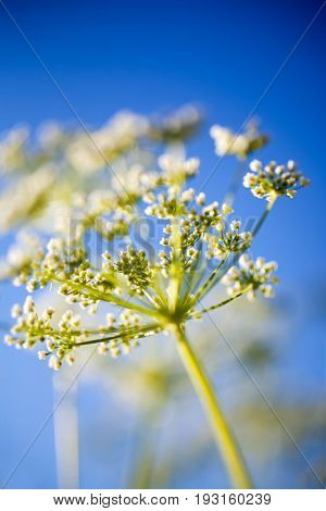 Anthriscus sylvestris, also known as cow parsley