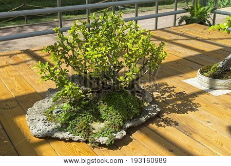 Chaenomeles japonica - Bonsai in the style of