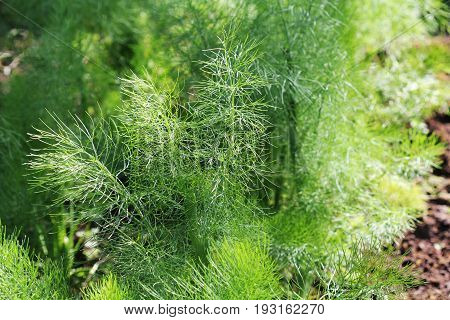 Fennel plant in the garden. Green background with Fennel leaves .