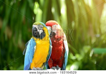 Blue - Gold Macaw and Scarlet Macaw parrot on naatural green background.
