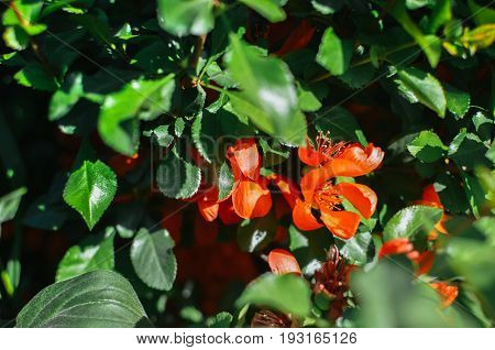 Red Flowers Of The Chaenomeles On Bush