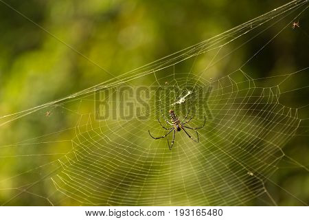 Nephila maculata on spider net, Gam Island, West Papuan, Raja Ampat, Indonesia