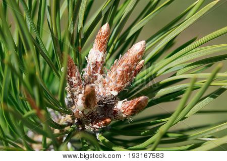 Young sprigs of pine in a summer forest. Beautiful in nature.