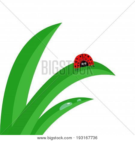 Ladybug Ladybird insect. Fresh green grass stalk close up. Morning water drop set. Cute cartoon baby character. Garden nature decoration element. Flat design. White background. Isolated. Vector