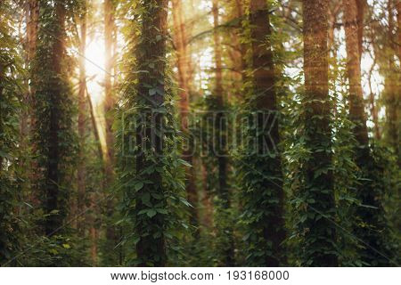 Sun Rays Pour Into The Summer Forest, Creating A Dramatic Atmosphere