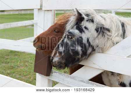 Portraits of Two nice ponies close up, brown and white and black pony. Small horses in the yard.Domestic animals