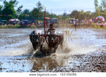 CHONBURI THAILAND - July 29 : Buffalo racing festival which is held annually at Chonburi Province Thailand. on July 29 2016. Traditionally held by farmers to conserve water buffalos