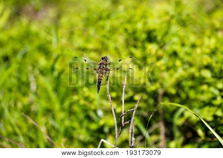 A dragonfly sits on a dry branch of a tree. The color of the dragonfly is slightly brownish. She flew on a clearing in the middle of the forest. It is very difficult to keep up with such a fast insect.