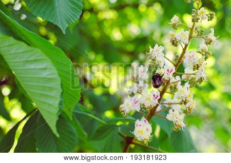 Branch Chestnut Closeup. White Chestnut Flowers Against The Background Of Green Leaves
