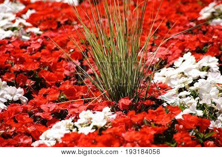 Ornamental grass stands in the middle of a colorful garden bed with red and white primrose blossoms.