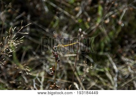 Yellow dragonfly or Odonata on a dry grass in field, Plana mountain, Bulgaria