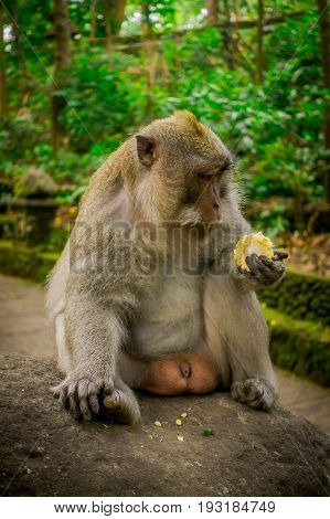Long-tailed macaques Macaca fascicularis in The Ubud Monkey Forest Temple eating a cob corn using his hands sitting on a rock, on Bali Indonesia.