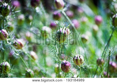 ragged lady plant closeup background used for natural medicine lowers blood pressure and  reduce temperature