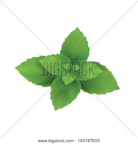 Mint vector illustration. Mint leaves green art.
