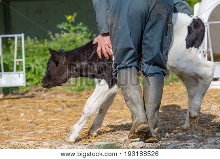 Young Calf Holstein With A Farmer N A Nursery For Cows In A Dairy Farm