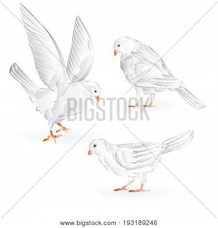 Carriers white pigeons domestic breeds sports birds vintage set seven vector