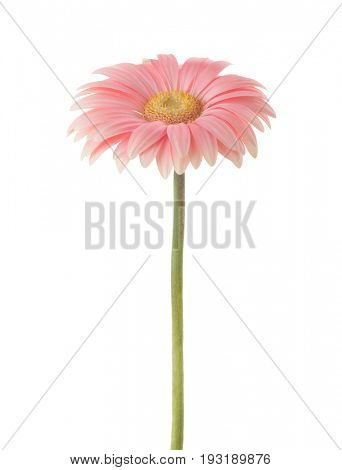 Coral pink Gerbera flower  isolated on white background.