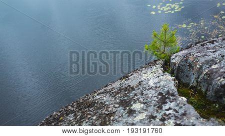 Ladoga Lake, Coastal Landscape. Pine Tree In Stone