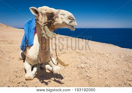 Egypt Dahab Camel on vacation. The mouth is open the teeth are visible. Bright sunny day. He lies on the sand