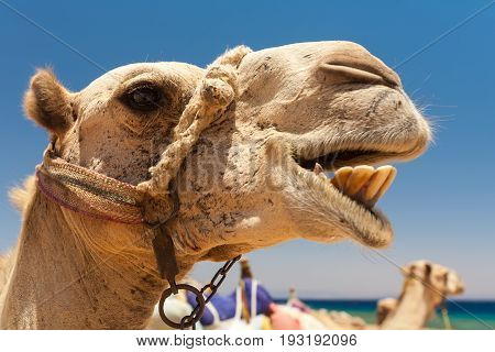 Egypt Dahab Camel on vacation. The mouth is open the teeth are visible. Bright sunny day. Photo of a head close-up