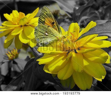 a butterfly alights on a yellow flower on a bright day