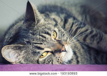 Close portrait of a female tabby cat lying. A very close portrait of a young tabby cat with yellow eyes. Lying on a purple surface. Brindle coat.