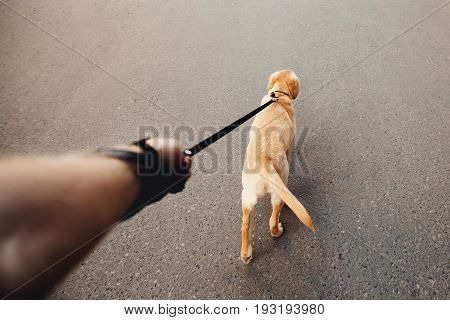 man holding a labrador dog on a leash a golden retriever walking along the street, the concept of dog walking, the man's best friend. Action camera
