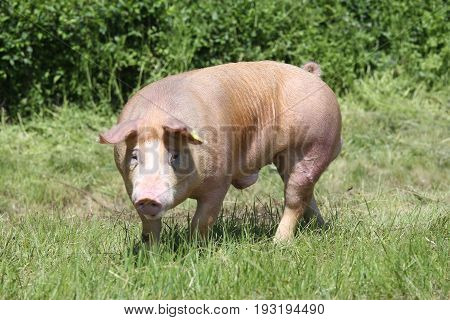 Duroc breed pig at animal farm on pasture