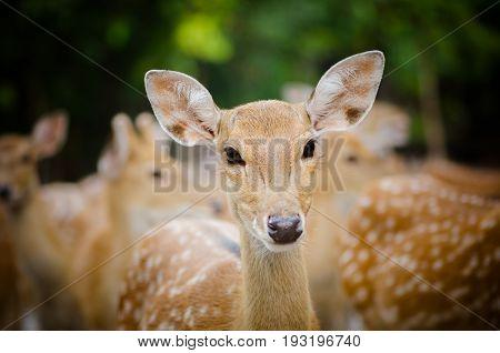 A portrait of a young dappled deer