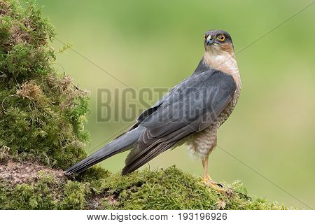 A male sparrowhawk stands alert toking behind and perched on an old moss covered tree branch. full length side view