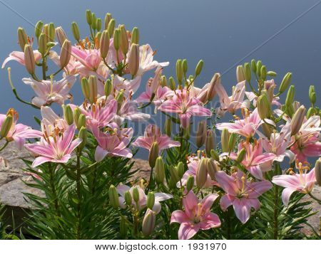 Lilies By Water Lg
