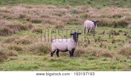 Two sheep graze on the autumn pasture. Look at the camera lens. The suburb of Exeter. Devon. England