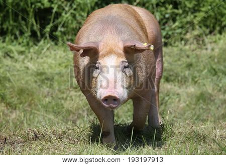 Mighty duroc pig run across on pasture